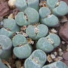 Lithops salicola, rare succulent living stone mesembs collection seed 100 SEEDS