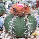 Melocactus matanzanus cacti rare cactus seed  100 SEEDS