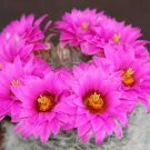 Mammillaria Guelzowiana cacti rare pincushion flower cactus aloe seed 50 SEEDS