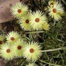 Cephalophyllum pillansii,flowering living stones  mesembs cactus seed 100 SEEDS