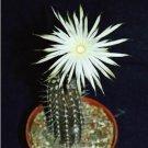 Echinopsis mirabilis rare flowering nocturnal cactus seed cacti agave 100 SEEDS