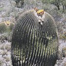 Echinocactus ingens @j@ exotic flowering cacti rare flower cactus seed 100 SEEDS
