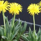 Bergeranthus artus ice plant rare mesembs succulents cacti cactus seed 100 SEEDS