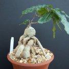 RAPHIONAGME FLANAGANI @@ rare caudex bonsai pachycaul succulent cactus plant 101