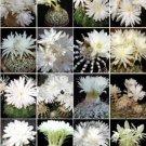 Discocactus variety MIX cactus cacti rare seed 20 SEEDS