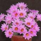 Mammillaria shumannii, exotic rare cactus seed 15 SEEDS