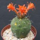 Matucana Madissoniorun red cacti  rare cactus  15 SEEDS