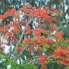 Royal Poinciana Delonix flamboyan tree exotic seed 20 seeds red flower