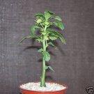 """Dorstenia hildebranti @ caudex rare succulent bonsai collectors item plant 4""""pot"""