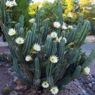 Cereus hildmannianus @ QUEEN OF THE NIGHT seed 30 SEEDS