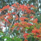 Royal Poinciana Delonix exotic seed 20 seeds red flower