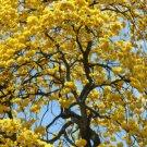 TABEBUIA CARAIBA @ exotic yellow Flower ornamental flowering tree seed 100 seeds