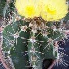 Astrophytum Ornatun cacti rare cactus plant  15 SEEDS