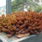 Mammillaria elongata cacti @@ rare cactus seed 20 SEEDS
