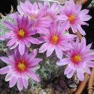 Mammillaria boolii exotic @J@ rare cactus seed 15 SEEDS