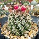 Melocactus dowsonii cacti rare cactus seed 50 SEEDS