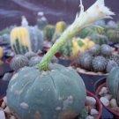 Matucana Madissoniorun WHITE cacti rare cactus 10 SEEDS