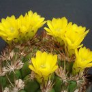 Weingartia lanata rare cactus seed cacti agave 15 SEEDS