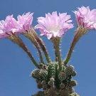 Echinopsis oxygona, @J@ rare cactus seed cacti 20 SEEDS