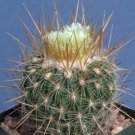 Stenocactus albatus @@ exotic cactus rare seed 10 SEEDS
