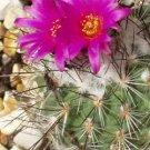 Turbinicarpus viereckii cacti rare cactus seed 10 SEEDS