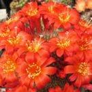 Rebutia minuscula, @j@ exotic rare cactus seed 20 SEEDS