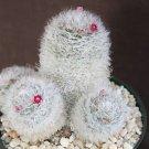 Mammillaria Bocasana roseiflora @@ rare cactus 20 SEEDS