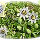 Passiflora caerulea, climber up to 5-7 m, hardy 15 seeds new crop 2011