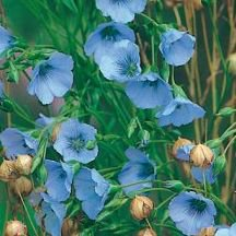 "Flax ""Linum usitatissimum"" in sky blue, more than 500 seeds"