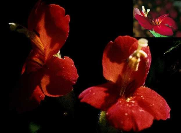 "Mimulus ""cardinalis"" monkey flower ideal for pond edges 20 seeds"