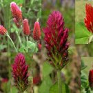 "Crimson Clover ""Trifolium incarnatum"" Snack for all flying insects, more than 500 seeds"