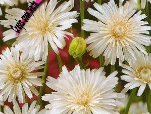 "Crepis rubra, ""white hawksbeard"" long flowering until the autumn, 30 seeds"