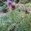 Cardy great flower and a very tasty vegetable, 18 seeds