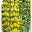 Sweet Lupin yellow, a lot of protein, about 50 seeds