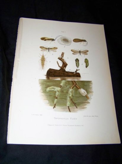 Antique Entomology SPONGILLA FLIES Chromo-Litho Plate