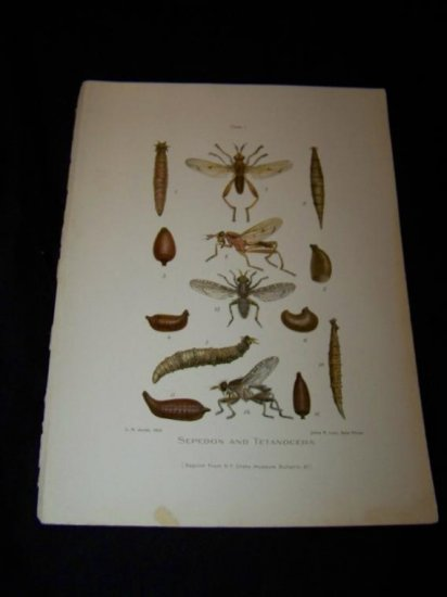 Entomology SEPEDON TETANOCERA Chromo-Litho Plate Print