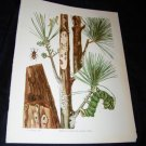 Entomology White Pine CATERPILLAR Chromo-Litho Plate