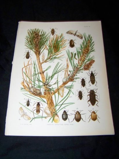 Antique Entomology Hard Pine INSECTS Chromo-Litho Plate