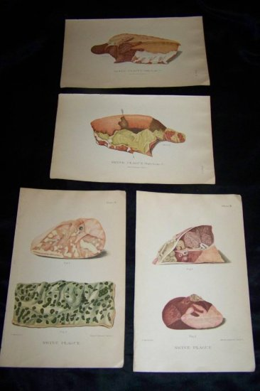 Antique 1887 Swine Plague Chromo Lithograph Print Lot
