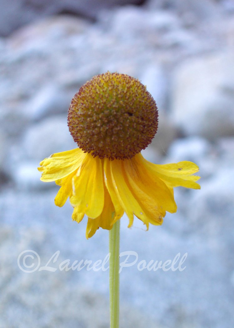 ACEO Yellow Coneflower