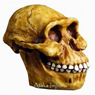 AUSTRALOPITHECUS HUMAN SKULL HEAD-HOMINID SPECIES (6185)