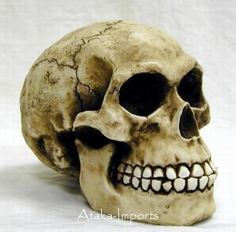 HOMO SAPIENS HUMAN SKULL-SKELETONS-EXTINCT (6188)