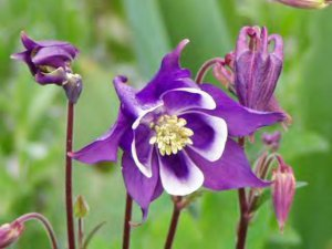 Purple and Red columbine mix 30 seeds
