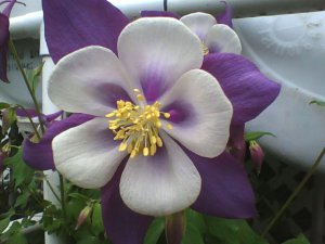 Purple Columbine 30 seeds
