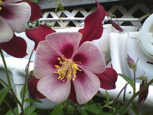 Red Columbine flower 30 seeds