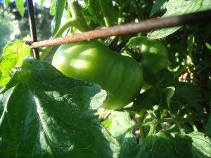 Malachite Green Tomato