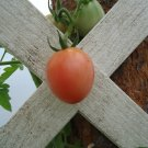 Aquaponic Pearly Pink Cherry Tomato