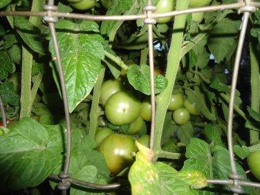 Czech's Bush Tomato