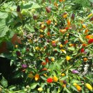 Bolivian Rainbow pepper *HOT*