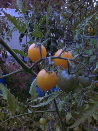 Snow White Cherry Tomato 20 seeds *HEIRLOOM*